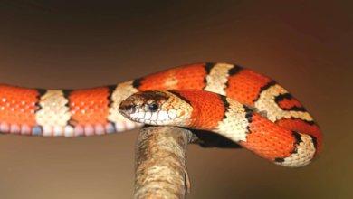 Photo of Американка сняла видео с шершнем, который мешал одной змее съесть другую