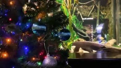 Photo of В океанариуме США электрический угорь зажёг рождественскую ёлку