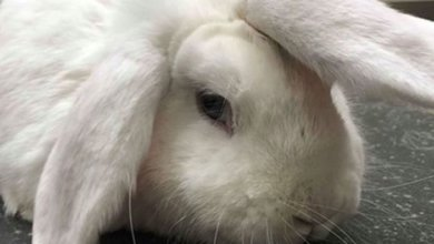 Photo of В Британии ищут хозяев для «кролика-единорога»