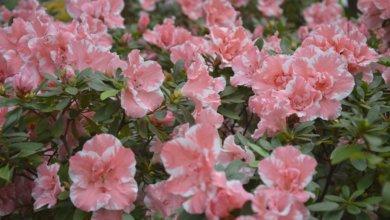 Photo of В ботаническом саду Кривого Рога начали цвести азалии